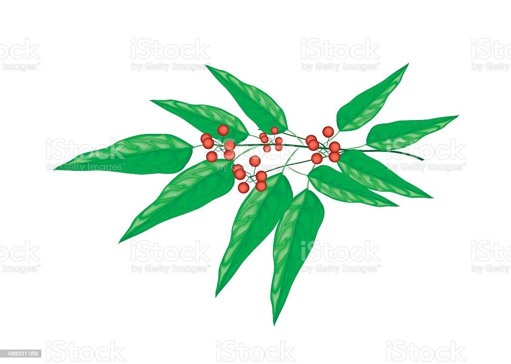 Tiliacora Triandra Plant on White Background royalty-free stock vector art