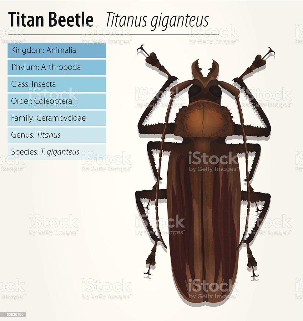 Titan beetle  - Titanus giganteus vector art illustration