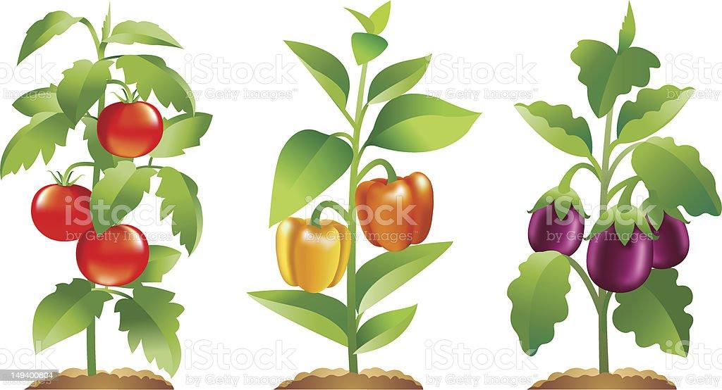 Tomato, bell Pepper and Brinjal plants vector art illustration