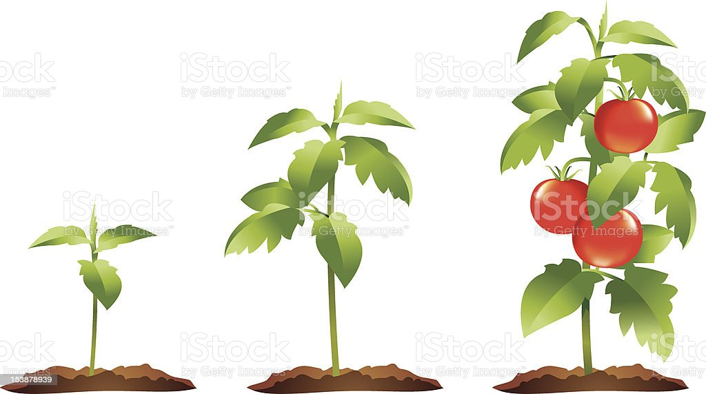 Tomato plant growth stages vector art illustration