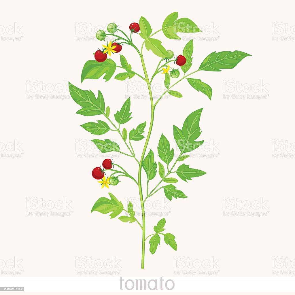 トマトの苗 ロイヤリティフリートマトの苗 - ト... トマトの苗 - トマトのベクターアート素