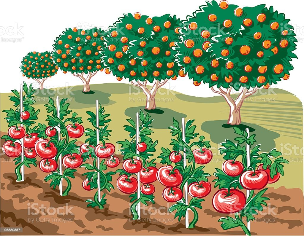 Tomato plants royalty-free stock vector art