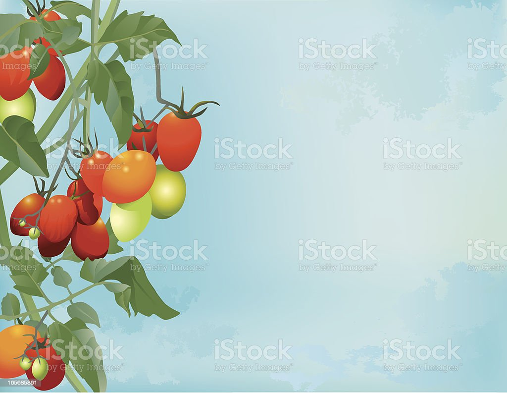 Tomatoes Ripening on Vine royalty-free stock vector art