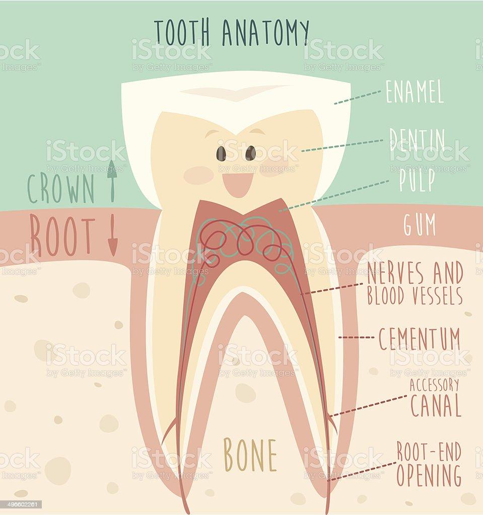 tooth anatomy, concept of healthy teeth, vector illustration, vector art illustration