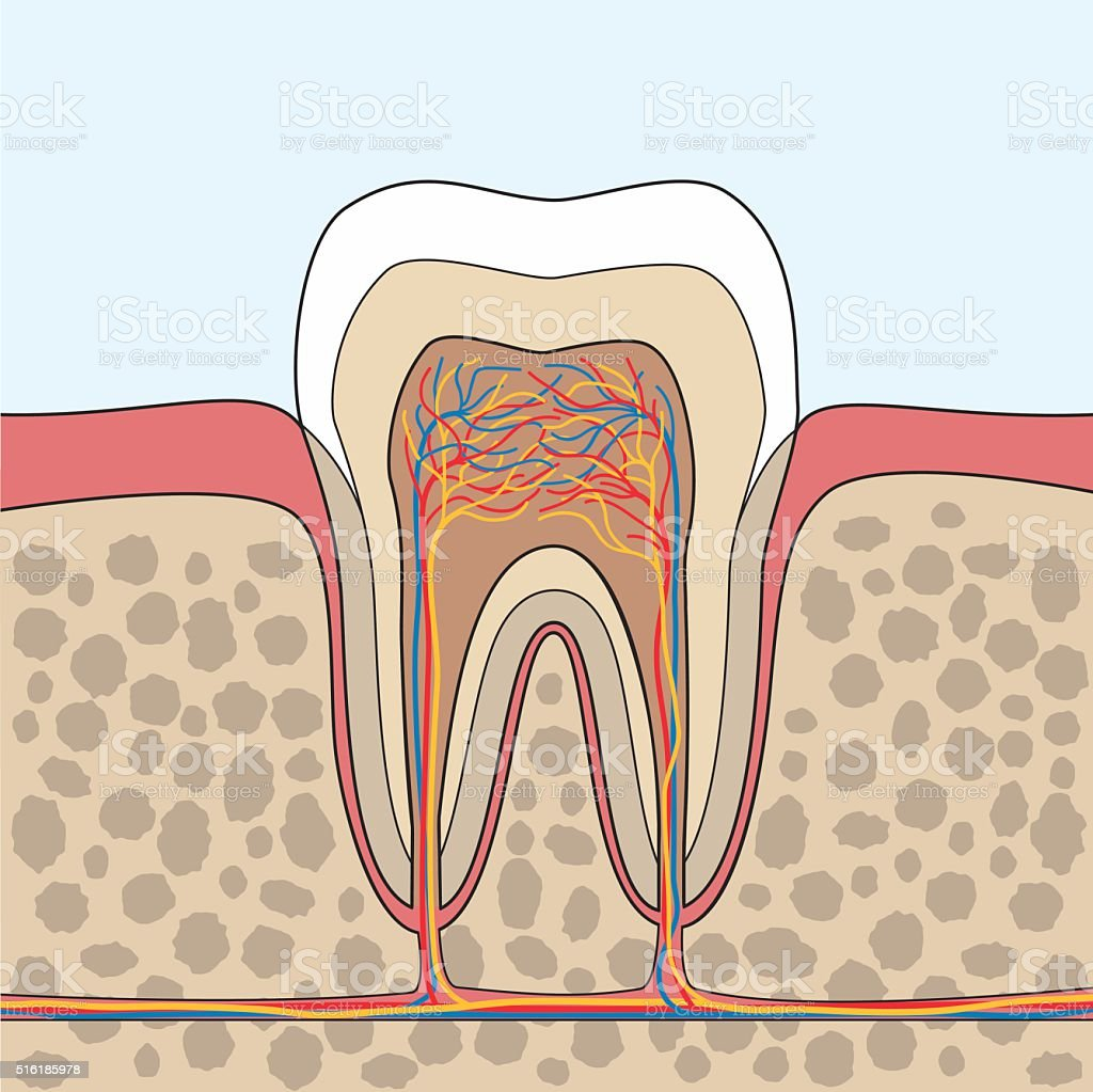 Tooth Anatomy illustration vector art illustration