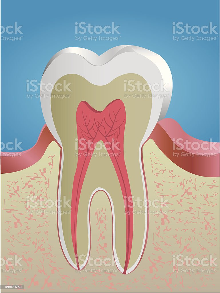 Tooth Anatomy Illustrations royalty-free stock vector art