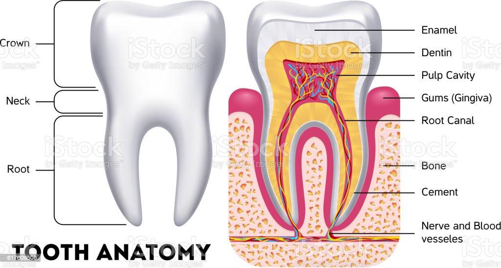Tooth anatomy vector dental infographics vector art illustration