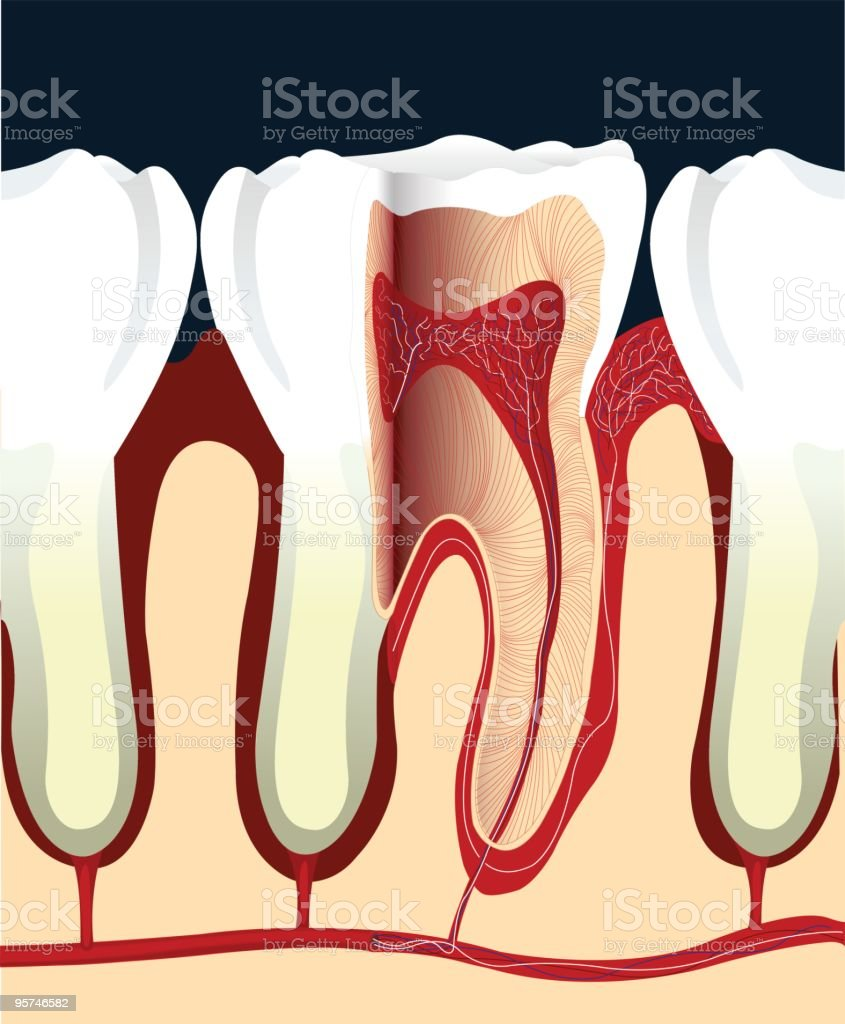 Tooth Cross Section vector art illustration