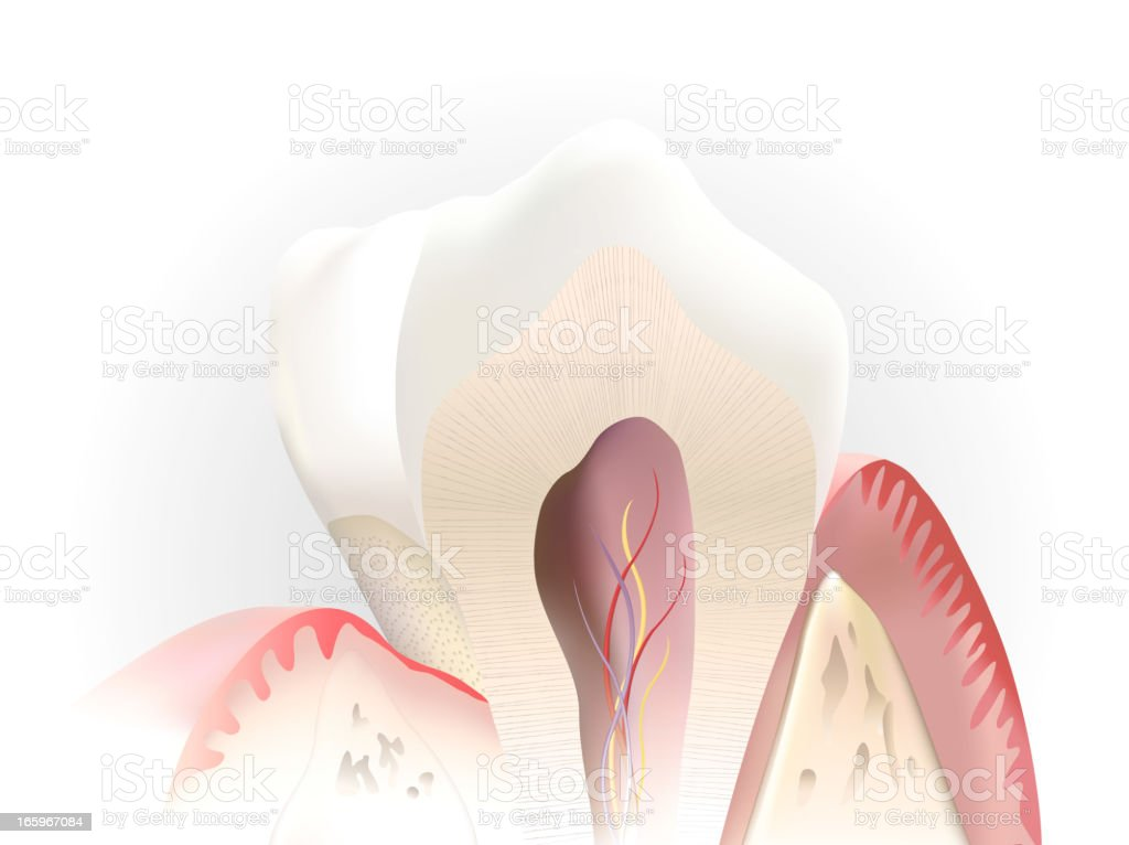 tooth section vector art illustration