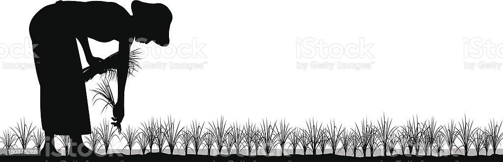 Transplanting rice vector art illustration