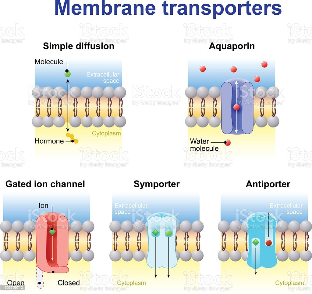transport of ions and molecules across cell membranes. vector art illustration