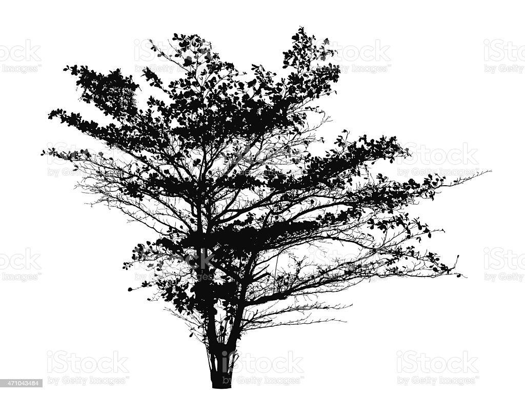 Tree silhouette (Terminalia catappa, Tropical almond, Bengal alm vector art illustration