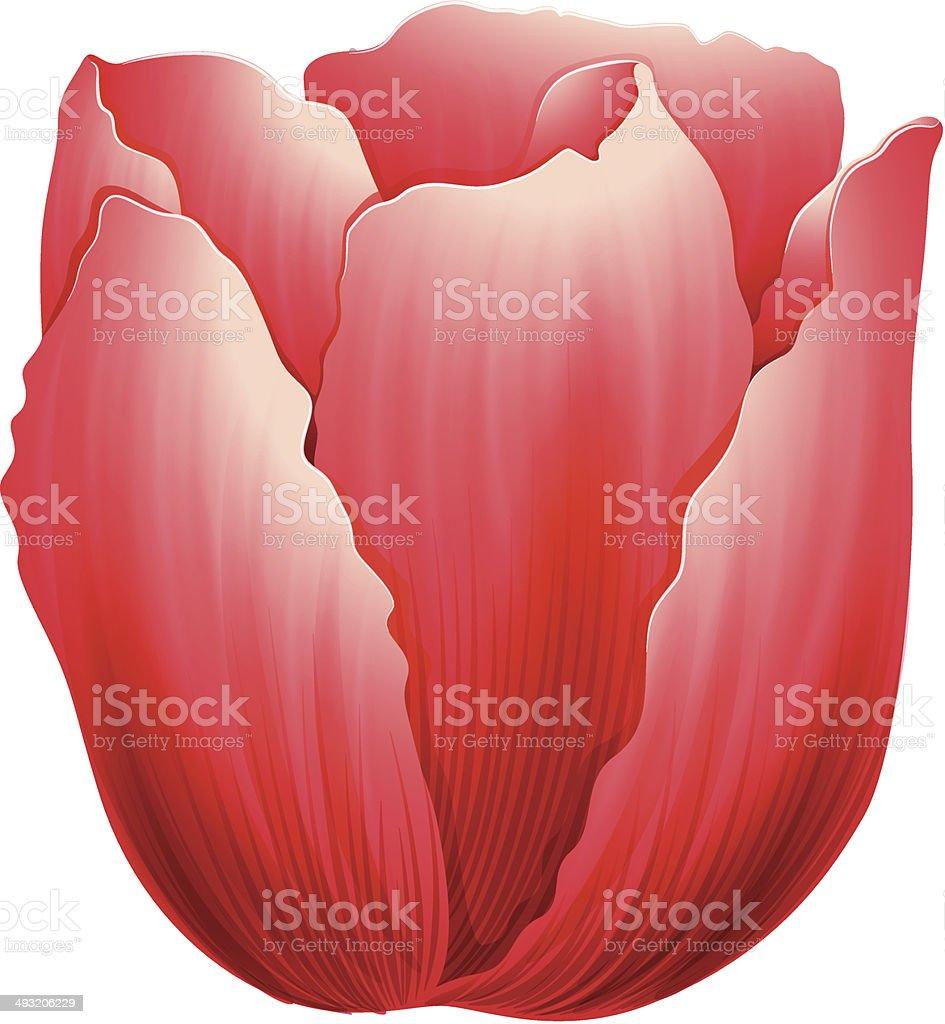 Tulip flower vector art illustration