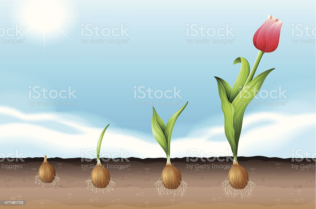 Tulip royalty-free stock vector art