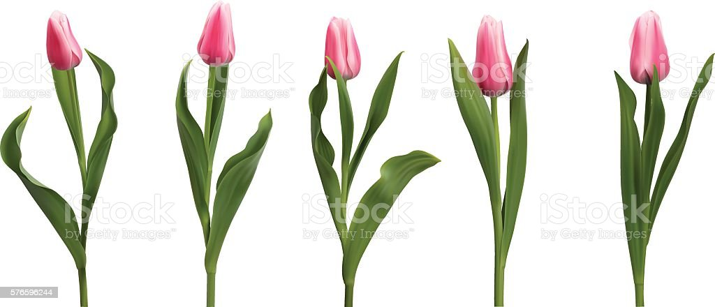 Tulips Isolated On White vector art illustration