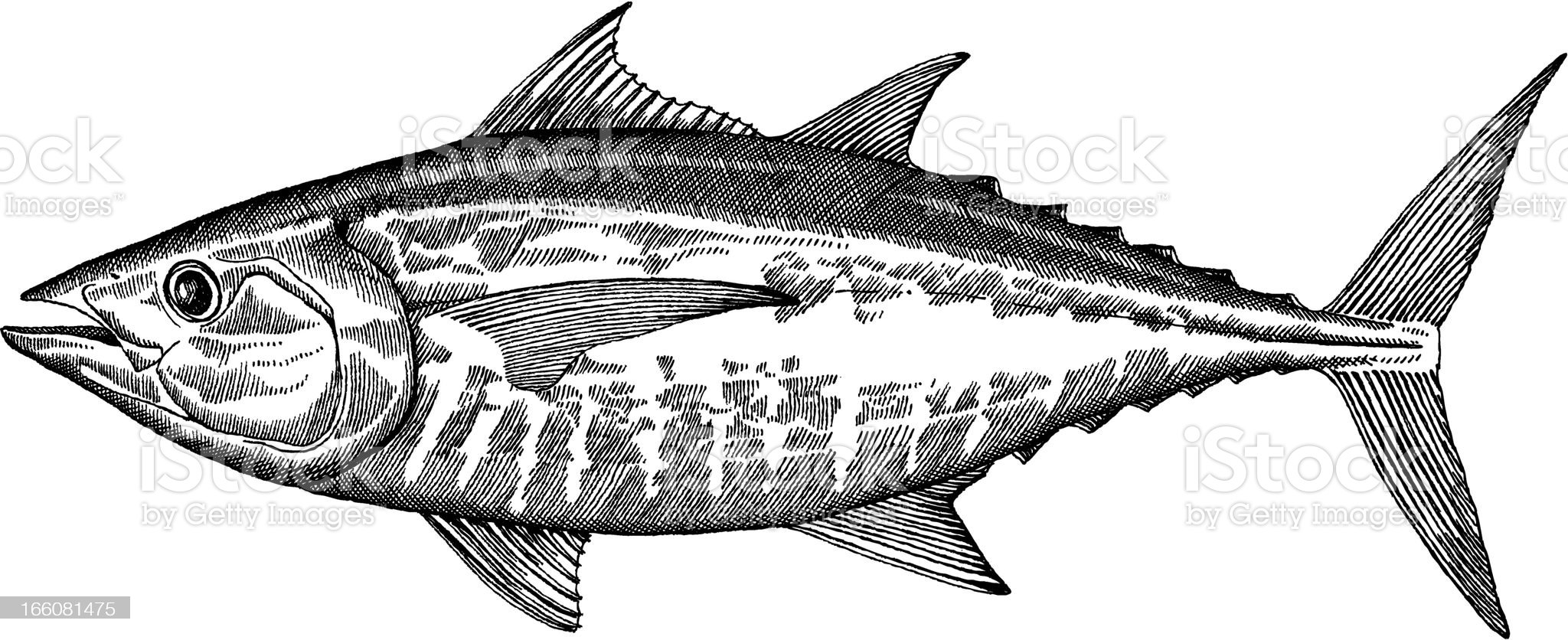 Tuna Fish Drawing royalty-free stock vector art