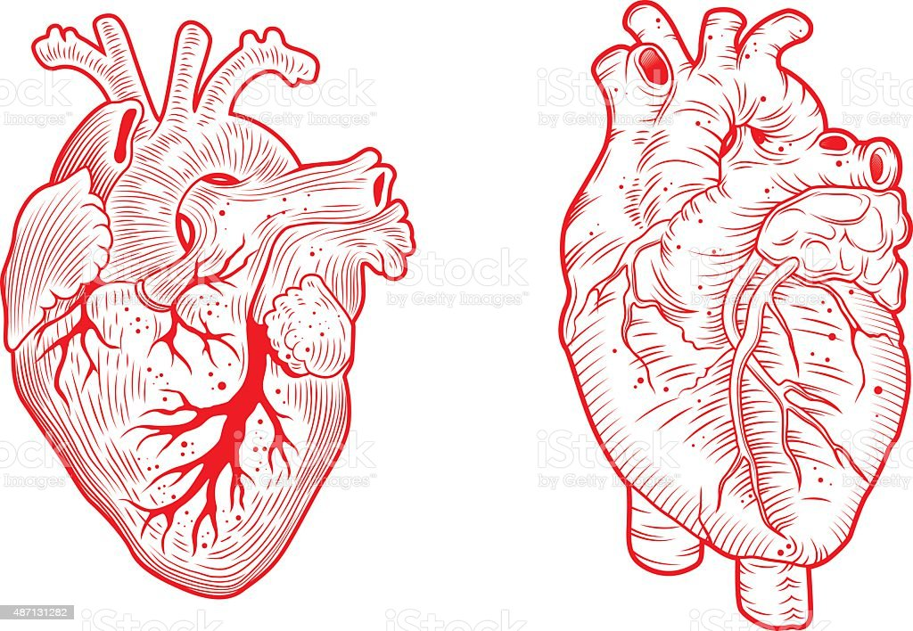 two anatomical hearts vector art illustration