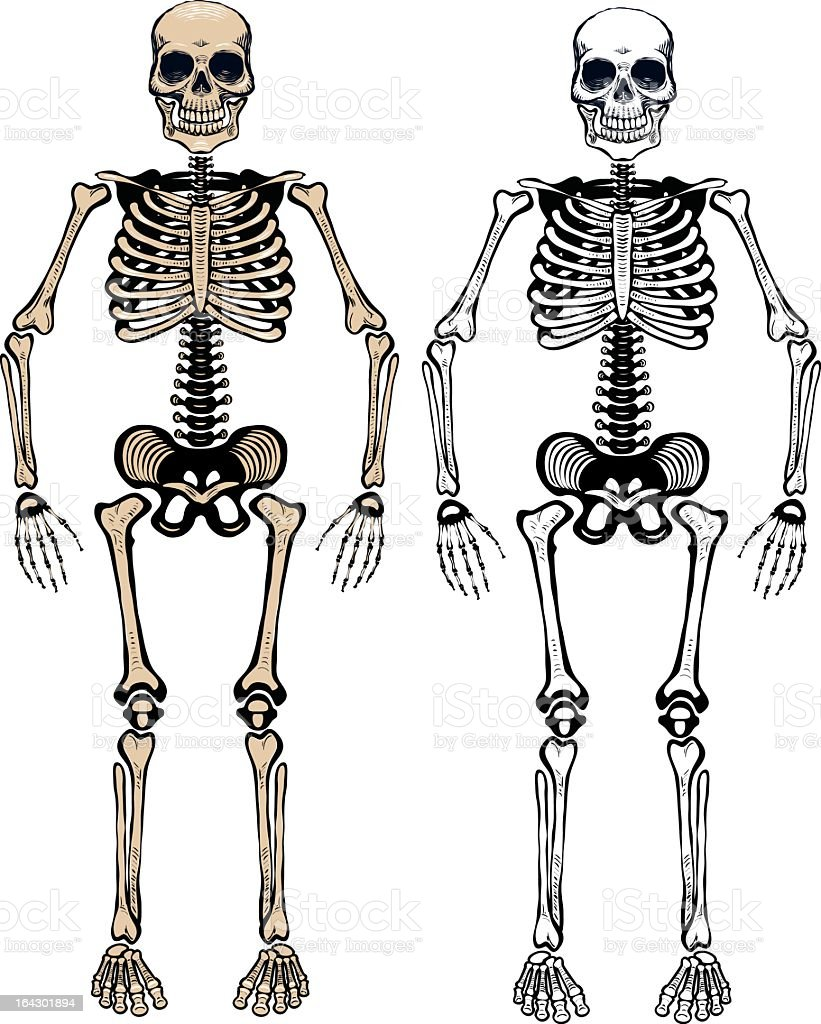 Two animated human skeletons on a white background vector art illustration