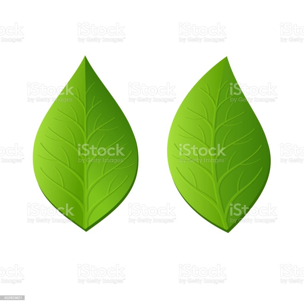 Two Green Leaves on White Background. Vector royalty-free stock vector art