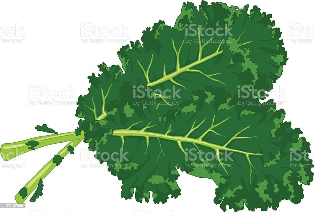 Two large kale leaves on a white background vector art illustration