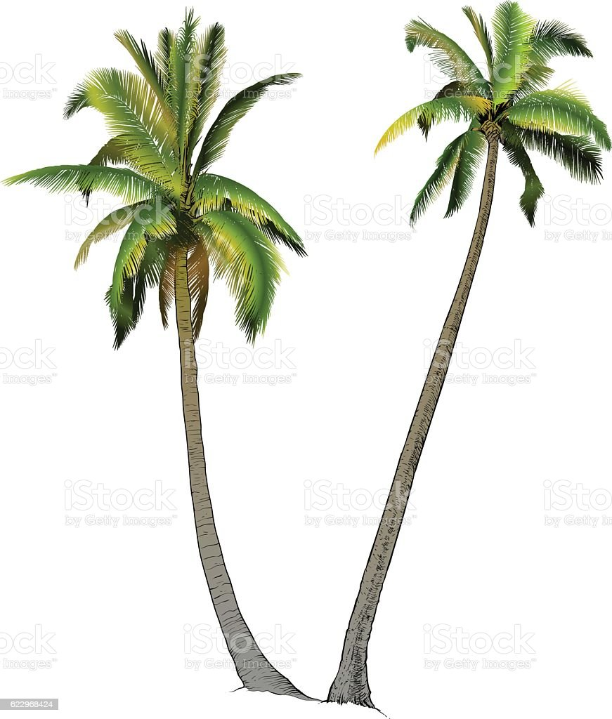 Two palm trees, vector art illustration