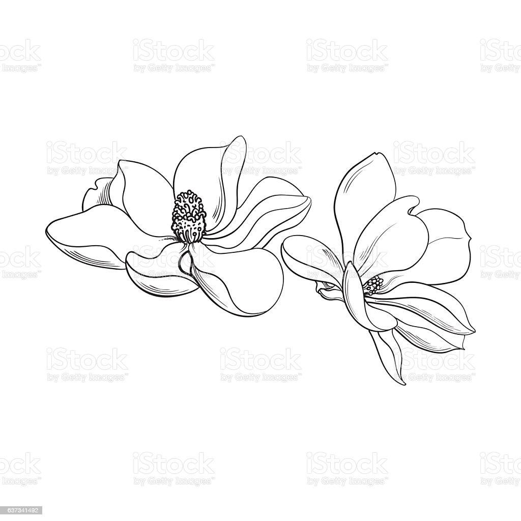 Two pink magnolia flowers, sketch vector illustration vector art illustration