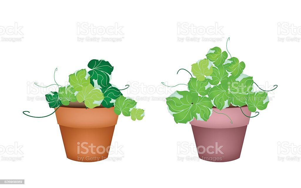 Two Polyscias Leaves in Ceramic Flower Pots vector art illustration