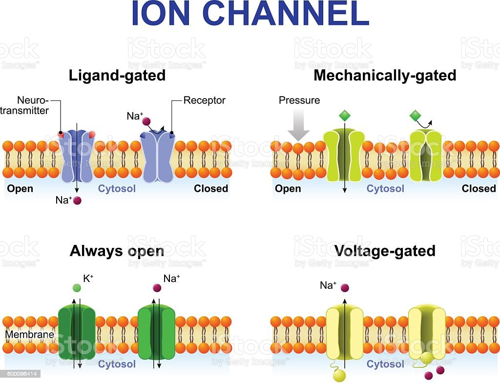 Types of ion channel vector art illustration