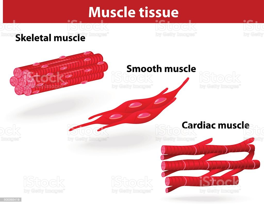 Types of muscle tissue vector art illustration