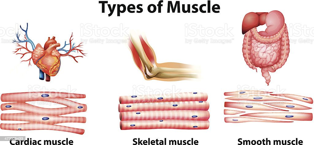 Types of muscle vector art illustration