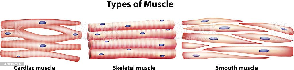 Types of muscles vector art illustration
