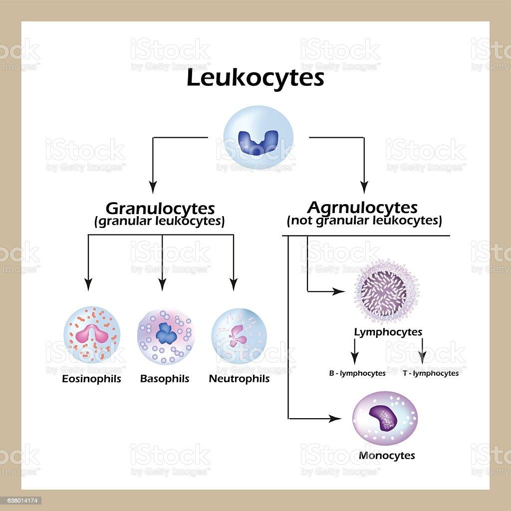 Types of white blood cells. Infographics. Vector illustration vector art illustration