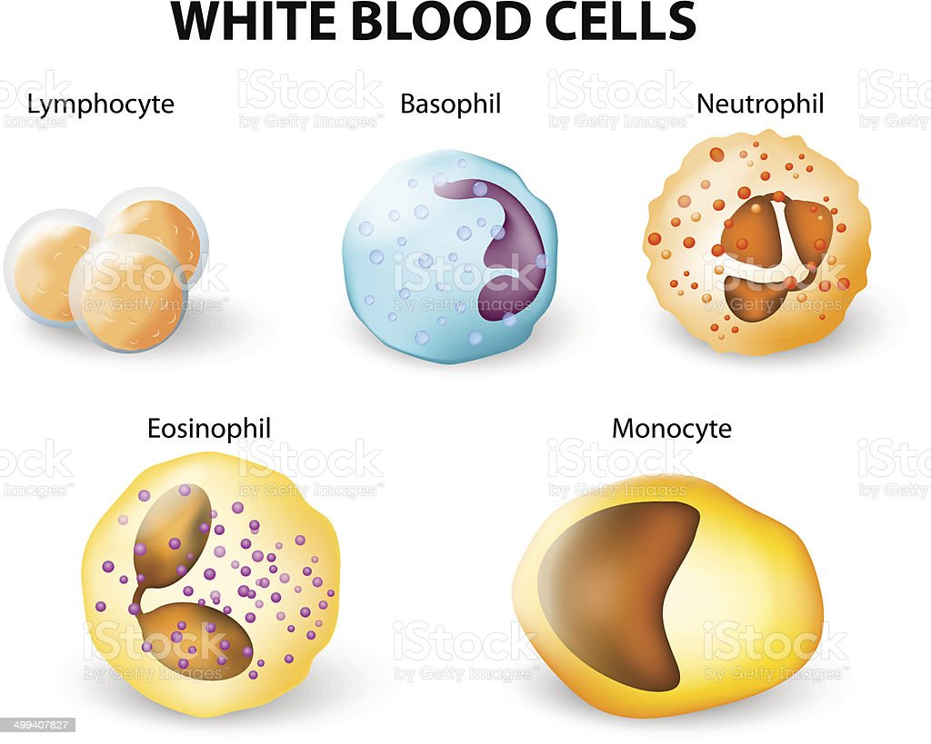 Types of White blood cells vector art illustration