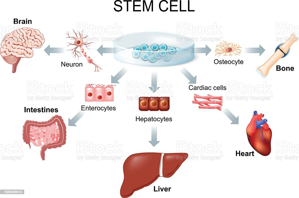 Using stem cells to treat disease vector art illustration