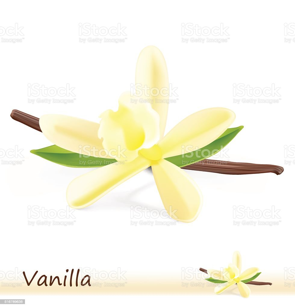 Vanilla flower with pods on white background. vector art illustration