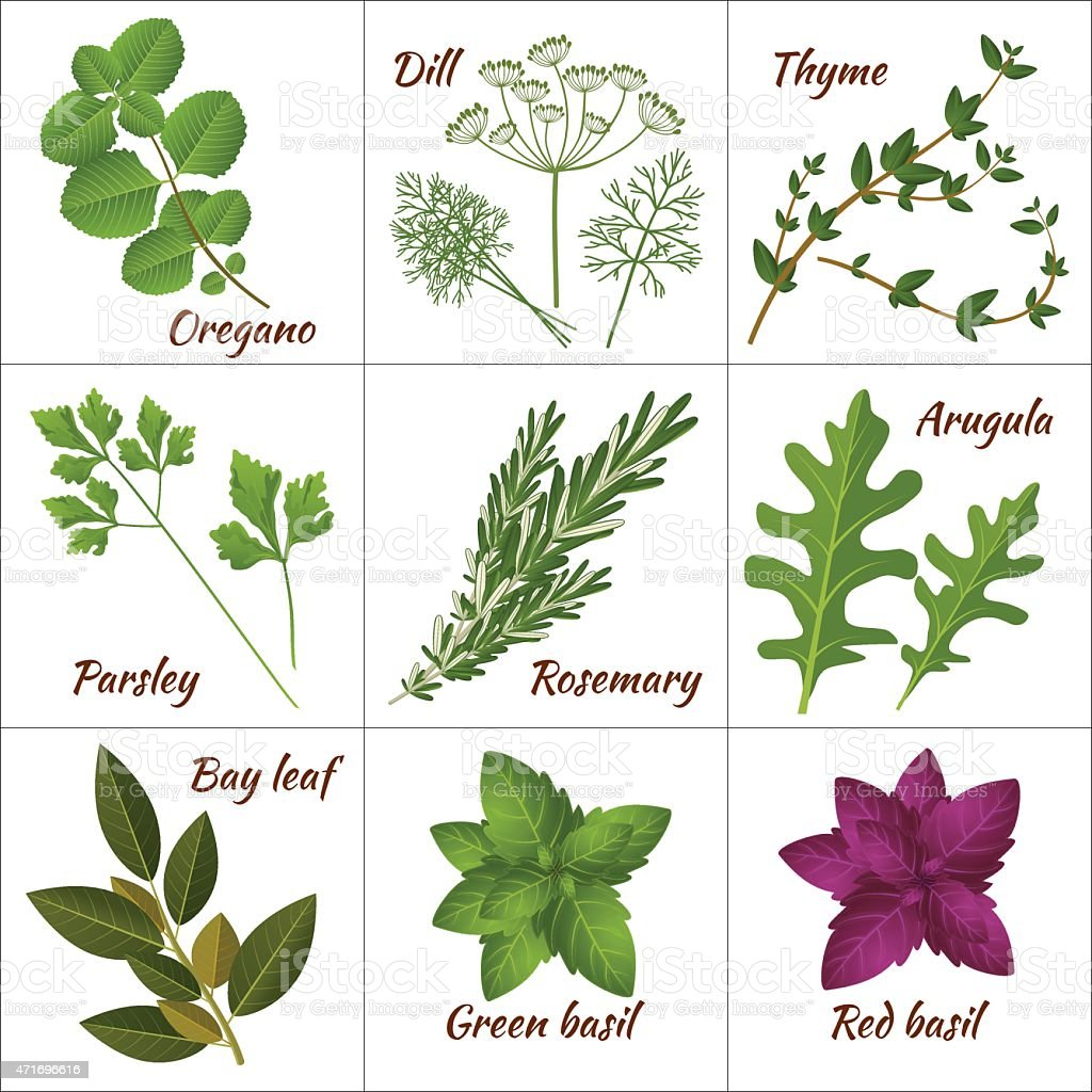 Various illustration of culinary and medicinal herbs vector art illustration