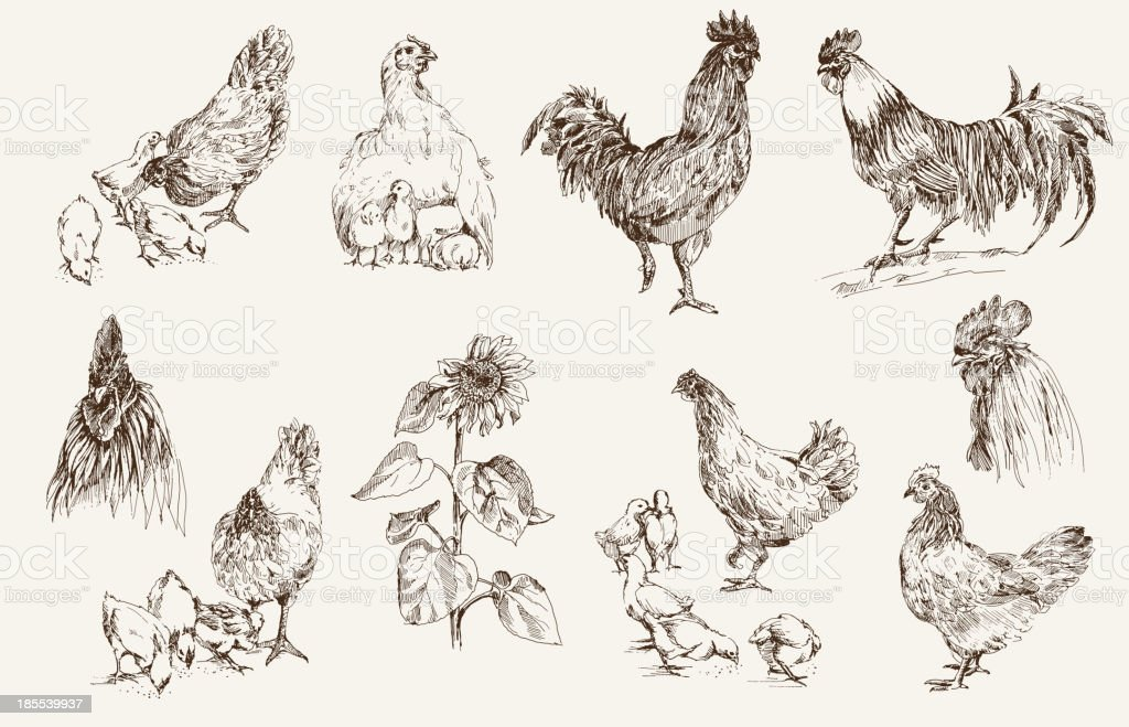 Various illustration of how to breed a chicken vector art illustration