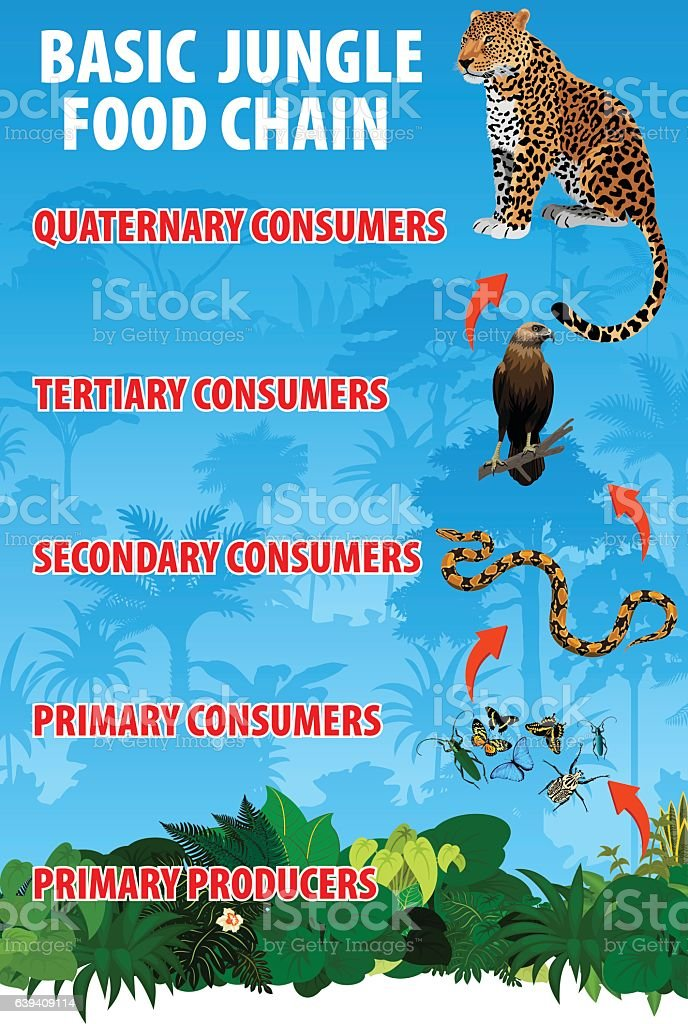 vector Basicjungle rianforest food trophic chain. Tropical ecosystem energy flow vector art illustration