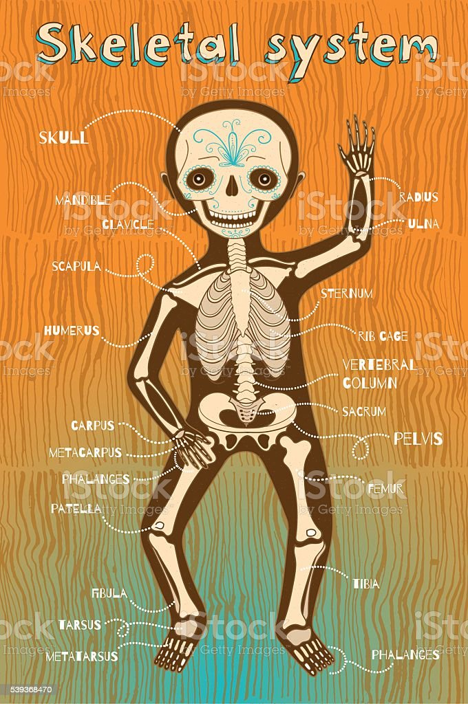 vector cartoon illustration of human skeletal system for kids vector art illustration