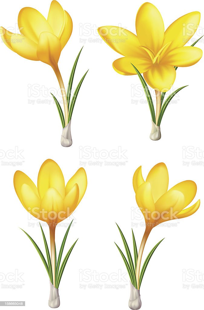 Vector collection of yellow crocuses vector art illustration