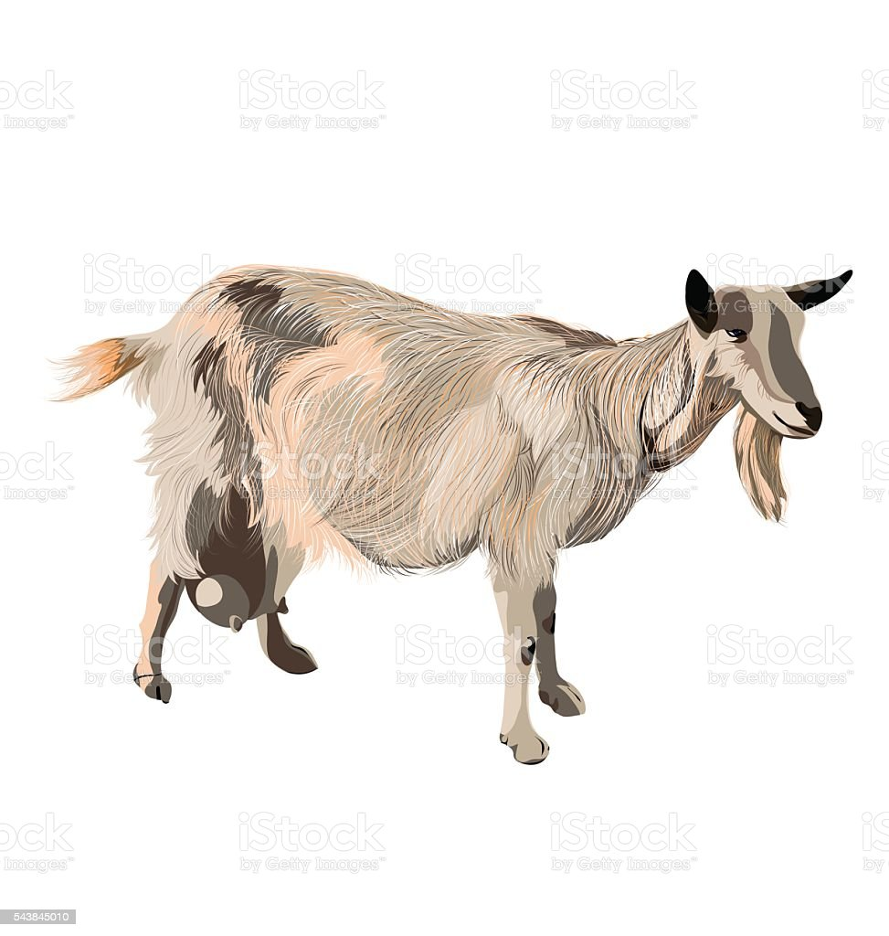 vector color goat on white background vector art illustration