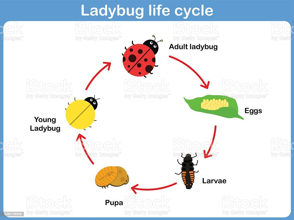 Vector Cycle of ladybug for kids vector art illustration