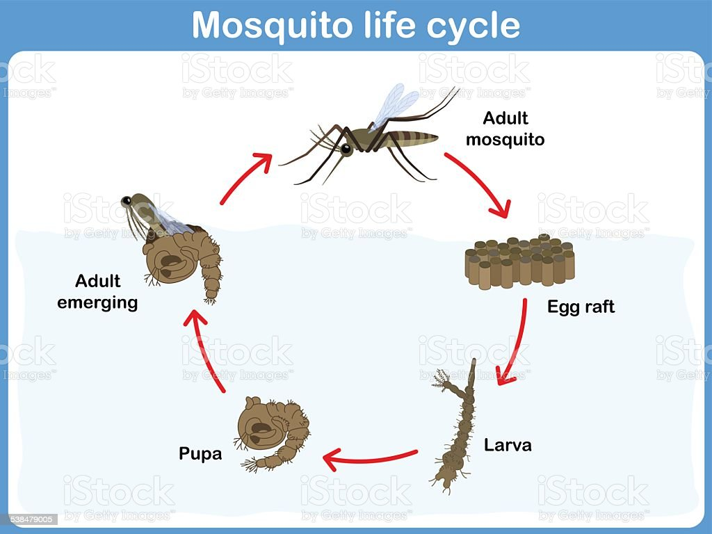 Vector Cycle of mosquito for kids vector art illustration