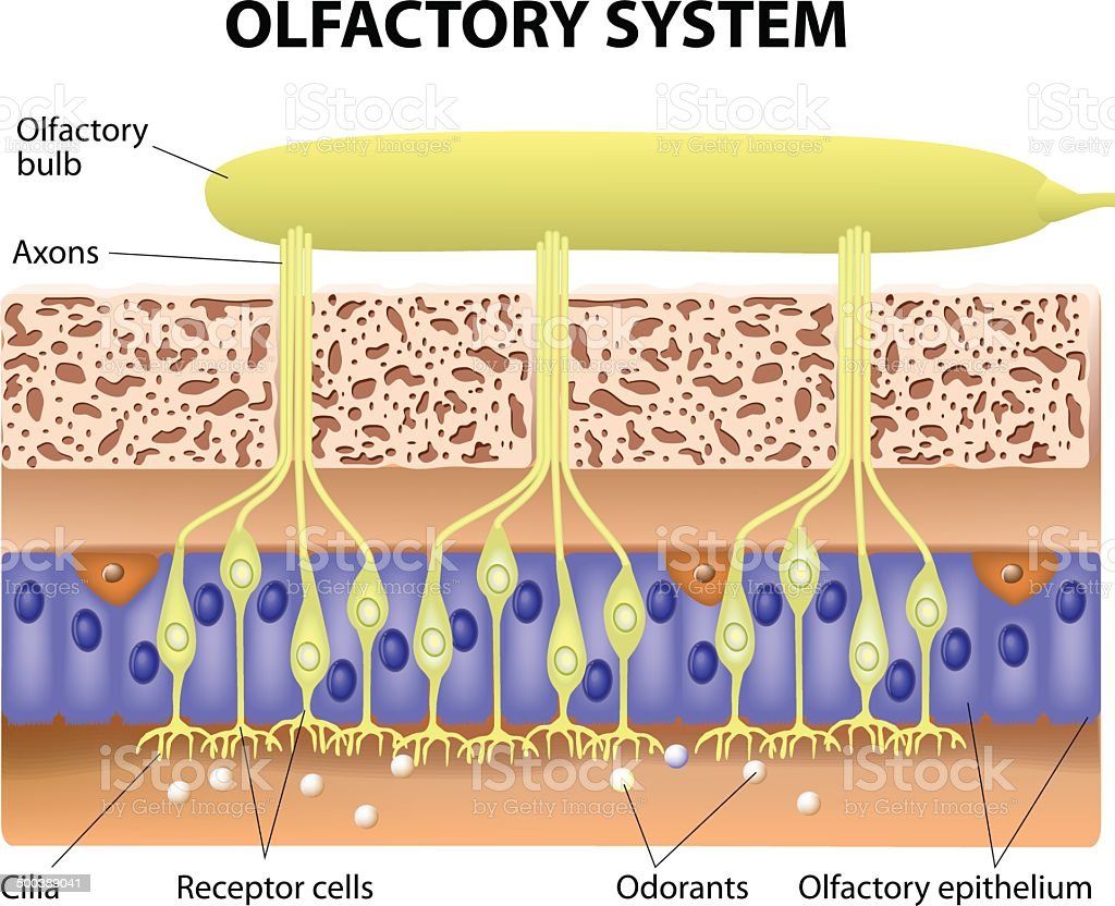 Vector diagram of the olfactory system vector art illustration