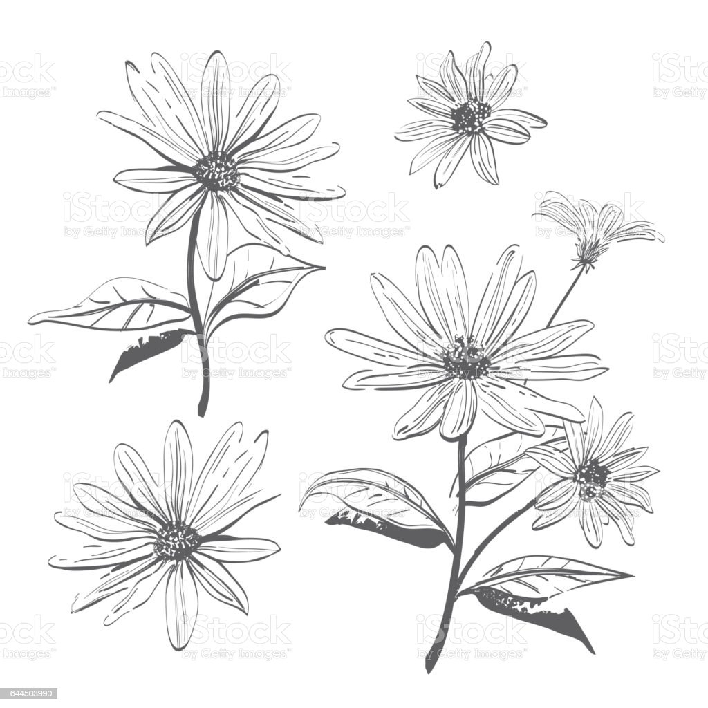 vector drawing flowers handdrawn chamomiles daisies watercolor