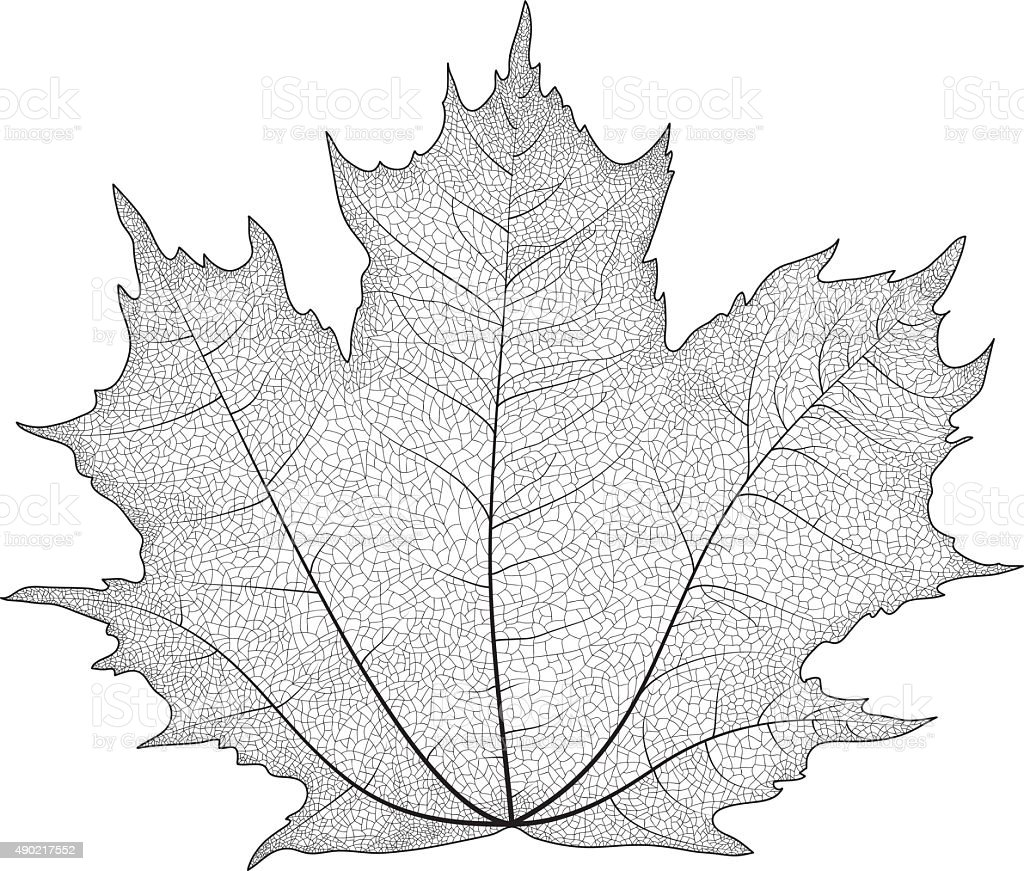 Vector drawing of a maple leaf. The veins on the leaves of the maple. vector art illustration