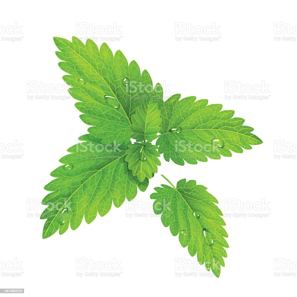 Vector. Fresh mint isolated on a white background vector art illustration