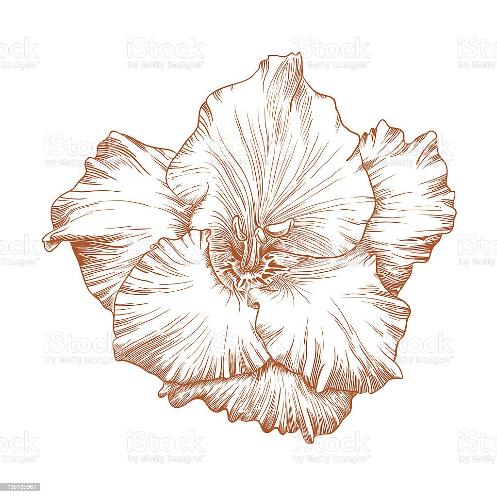 Vector gladiolus flower. royalty-free stock vector art