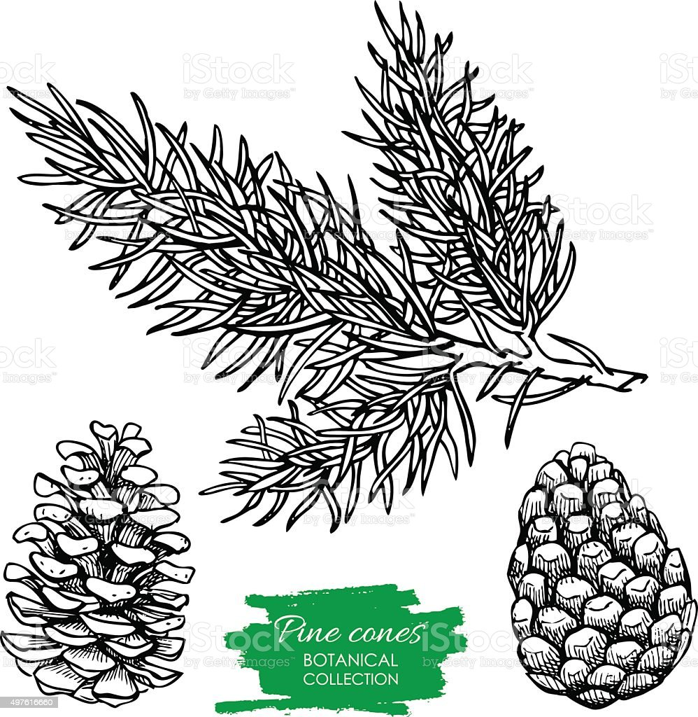 Vector hand drawn botanical Pine cone and branch. vector art illustration