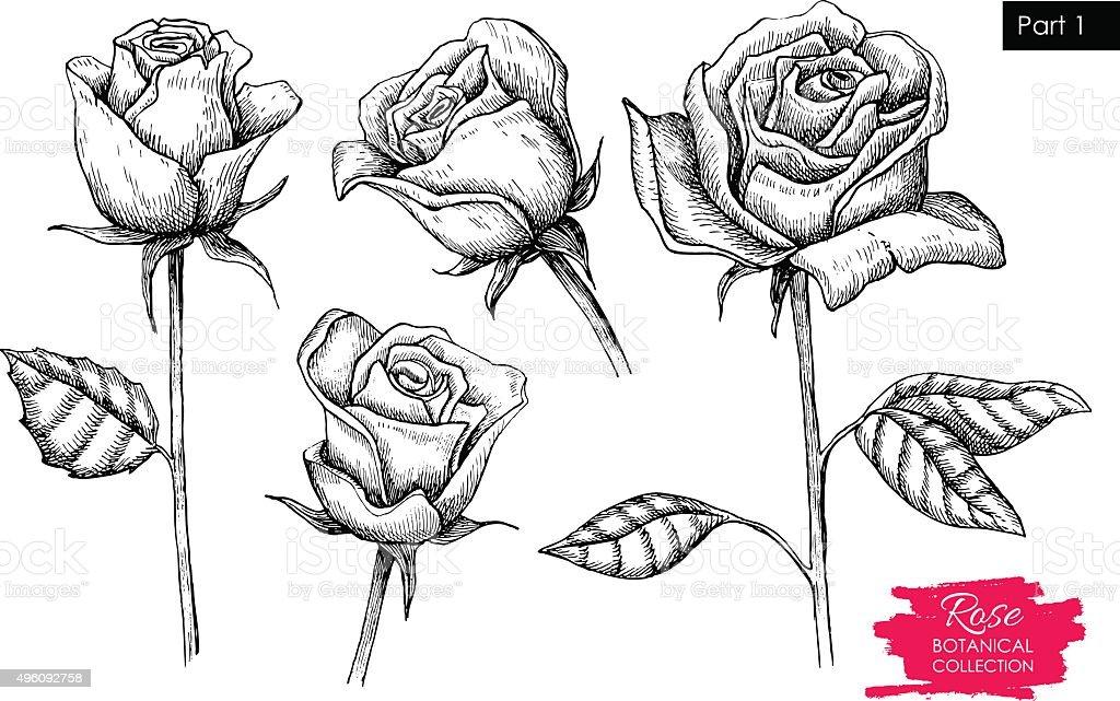 Vector hand drawn botanical rose set. Engraved collection vector art illustration